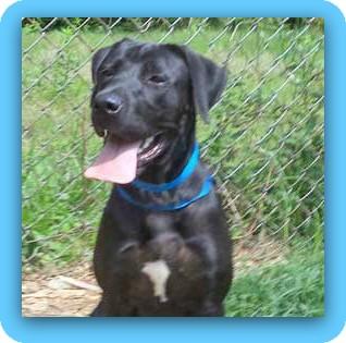 Labrador Retriever Dog for adoption in Marietta, Georgia - EMERSON - see video