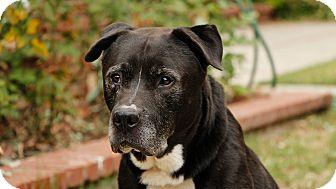 Labrador Retriever Mix Dog for adoption in Los Angeles, California - Jesse