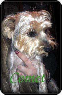 Yorkie, Yorkshire Terrier Dog for adoption in Denver, North Carolina - Comet