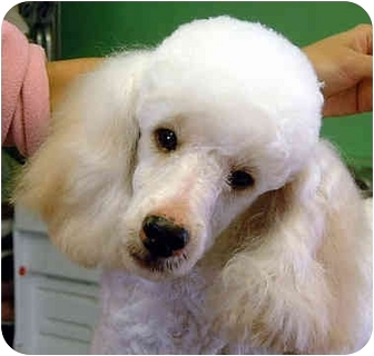 Poodle (Miniature) Dog for adoption in San Diego (all areas), California - Bugsy-ADOPTED!!!