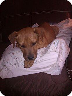 Labrador Retriever Mix Puppy for adoption in Richmond, Virginia - Tabitha