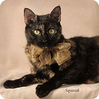 Domestic Shorthair Cat for adoption in Kerrville, Texas - Squeak