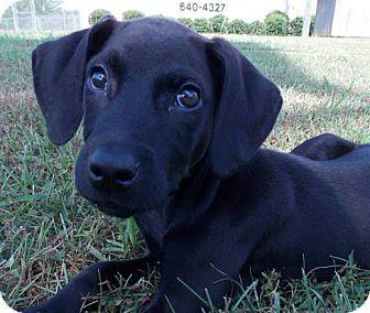 Labrador Retriever Mix Puppy for adoption in Moody, Alabama - Licorice