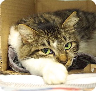Domestic Mediumhair Cat for adoption in Daytona Beach, Florida - Arabella