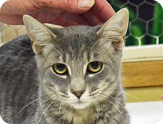 Domestic Shorthair Cat for adoption in Searcy, Arkansas - Blain
