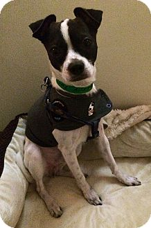Chihuahua/Boston Terrier Mix Dog for adoption in Encino, California - Paco