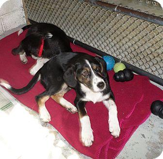 Border Collie Mix Puppy for adoption in Beacon, New York - Gretel
