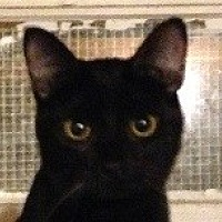 Domestic Shorthair Cat for adoption in Franklin, West Virginia - Donna
