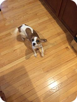 Jack Russell Terrier Mix Dog for adoption in WESTMINSTER, Maryland - Cindy