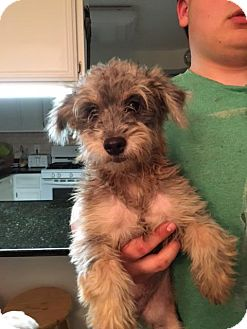 Schnauzer (Miniature) Mix Dog for adoption in Sterling Heights, Michigan - Gucci and Prada