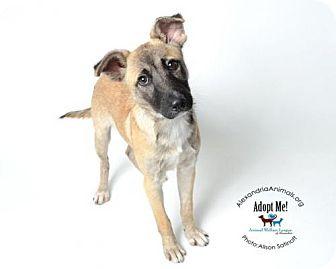Anatolian Shepherd Dog for adoption in Alexandria, Virginia - Archie