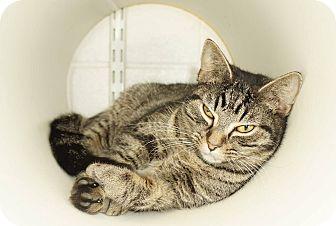 Domestic Shorthair Cat for adoption in Lexington, North Carolina - Vivian
