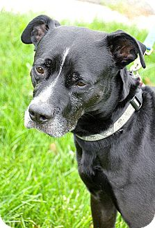 Labrador Retriever Mix Dog for adoption in Fort Leavenworth, Kansas - Parker