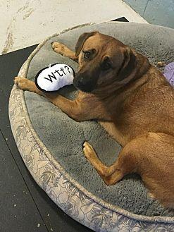 English Mastiff/Labrador Retriever Mix Dog for adoption in Bedford Hills, New York - Teddy Bear