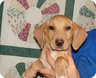 Labrador Retriever/Golden Retriever Mix Puppy for adoption in Oviedo, Florida - Kell