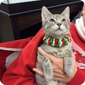 Domestic Mediumhair Kitten for adoption in Wilmore, Kentucky - Susie