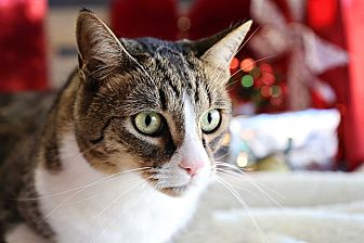 Domestic Shorthair Cat for adoption in Palmdale, California - Rudy