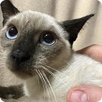Adopt A Pet :: Harper - Dallas, TX
