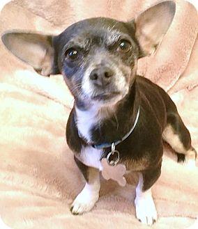 Dachshund/Chihuahua Mix Dog for adoption in Phoenix, Arizona - Bebe Rexha