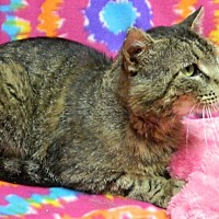 Domestic Shorthair Cat for adoption in Columbus, Nebraska - Nelson