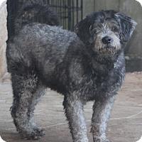 Poodle (Standard) Mix Dog for adoption in Bedminster, New Jersey - Mr. Bojangles