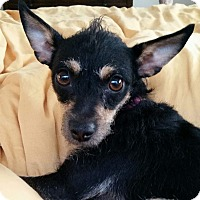 Terrier (Unknown Type, Medium)/Miniature Pinscher Mix Dog for adoption in Encino, California - Lola