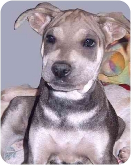 Shar Pei Mix Puppy for adoption in Grass Valley, California - Joey