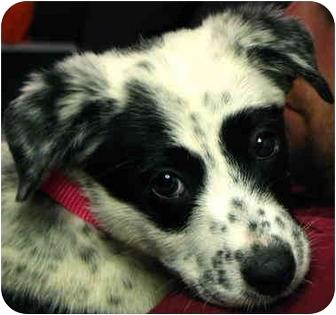 Labrador Retriever/Australian Shepherd Mix Puppy for adoption in Windham, New Hampshire - Pebbles
