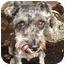 Photo 2 - Schnauzer (Miniature) Dog for adoption in Redondo Beach, California - Chelsea
