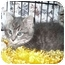 Photo 1 - Domestic Shorthair Kitten for adoption in Colmar, Pennsylvania - Dell