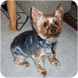 Yorkie, Yorkshire Terrier Dog for adoption in Hardy, Virginia - Cupcake