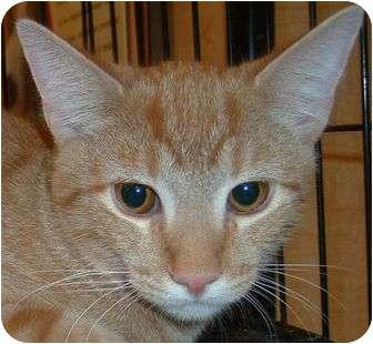 Domestic Shorthair Kitten for adoption in Las Vegas, Nevada - Rusty
