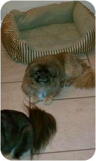 Pekingese Dog for adoption in Oklahoma City, Oklahoma - Price