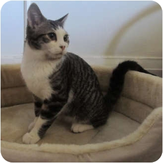 Domestic Shorthair Kitten for adoption in Toronto, Ontario - Spunk