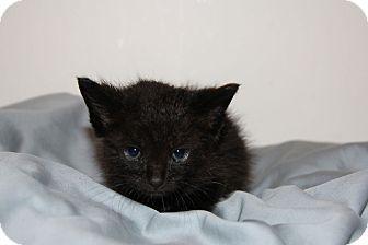 American Shorthair Kitten for adoption in Austin, Texas - Roar