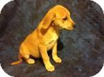 Beagle Mix Puppy for adoption in East Hartford, Connecticut - Rhett