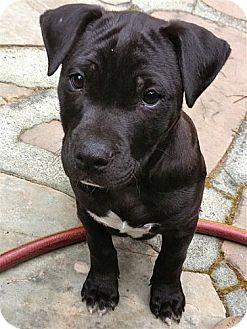 Labrador Retriever/American Pit Bull Terrier Mix Puppy for adoption in Berkeley, California - Peter