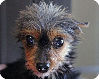 Yorkie, Yorkshire Terrier Dog for adoption in Mt Gretna, Pennsylvania - Wolfie - adoption pending