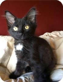 Domestic Shorthair Kitten for adoption in West Des Moines, Iowa - Chamberlain