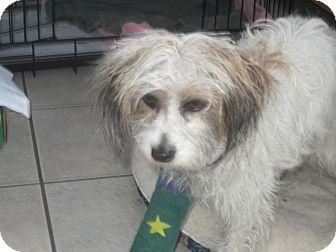 Silky Terrier/Havanese Mix Dog for adoption in Culver City, California - Victoria
