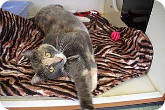 Calico Cat for adoption in Gloucester, Massachusetts - Easter