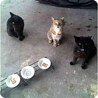 Adopt A Pet :: Cherub, Jeter, Nubby - Fort Lauderdale, FL