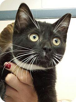 Domestic Shorthair Kitten for adoption in Richboro, Pennsylvania - Erica Gimpel