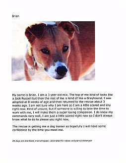 Jack Russell Terrier/Greyhound Mix Dog for adoption in Phoenix, Arizona - Brian