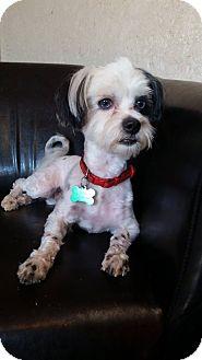 Havanese Mix Dog for adoption in Urbana, Ohio - Koby