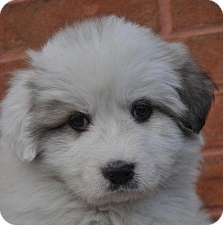 Great Pyrenees Puppy for adoption in Atlanta, Georgia - Emily