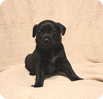 Australian Shepherd/Shepherd (Unknown Type) Mix Puppy for adoption in Yadkinville, North Carolina - Brady Bunch-Jan