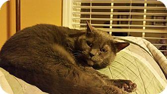 Domestic Shorthair Cat for adoption in Carlisle, Pennsylvania - NewtCP