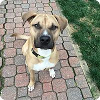 Adopt A Pet :: Jasper - Westminster, MD