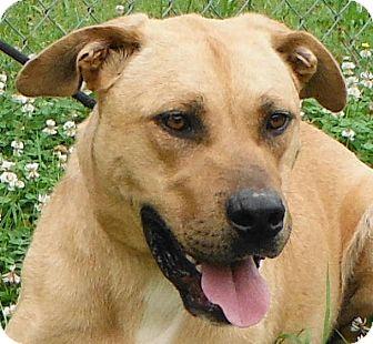 Great Dane/Akita Mix Dog for adoption in Cedartown, Georgia - 31554884